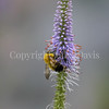 Common Eastern Bumble Bee on 'Fascination' Culver's Root 1