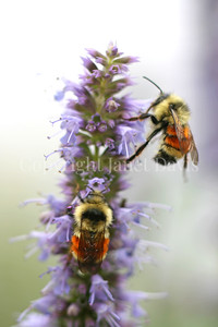 Orange-Belted Bumble Bees on Anise Hyssop 1