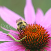 Orange-Belted Bumble Bee & Looper on Purple Coneflower