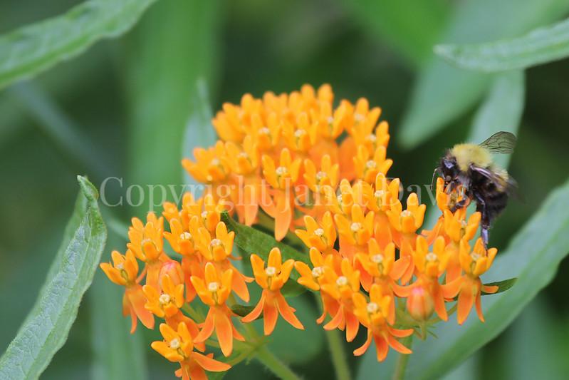 Common Eastern Bumble Bee on Butterfly Milkweed 3