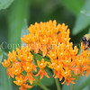 Common Eastern Bumble Bee on Butterfly Milkweed 3