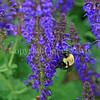 Common Eastern Bumble Bee on Meadow Sage