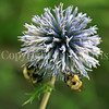 Common Eastern Bumble Bees on Globe Thistle 2