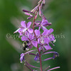 Common Eastern Bumble Bee on Fireweed 1