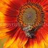 Common Eastern Bumble Bees on Sunflower 5