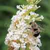 Brown-Belted Bumble Bee on Butterfly Bush 1
