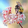 Common Eastern Bumble Bee on Farrer's Viburnum