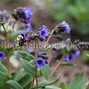 Two Spotted Bumble Bee on Lungwort 1