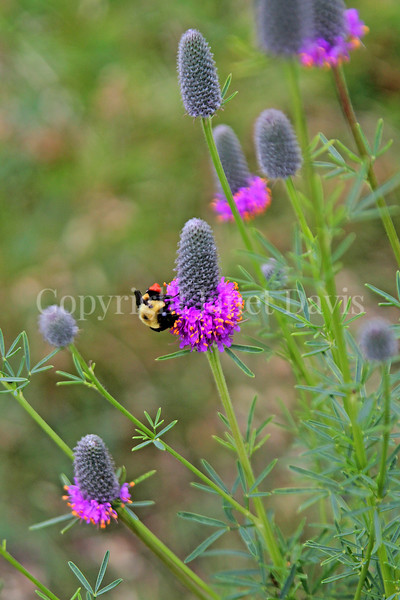 Common Eastern Bumble Bee on Purple Prairie Clover