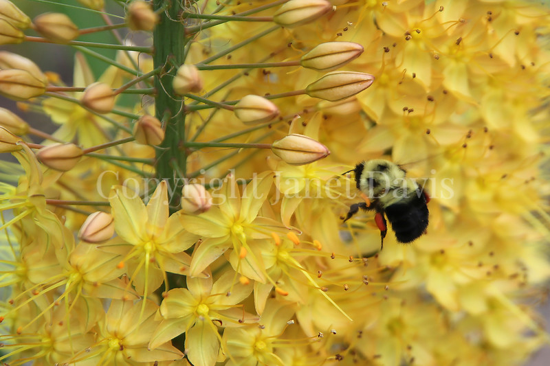 Common Eastern Bumble Bee on Foxtail Lily 2