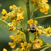 Common Eastern Bumble Bee on Partridge Pea