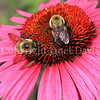 Brown-Belted Bumble Bees on Purple Coneflower