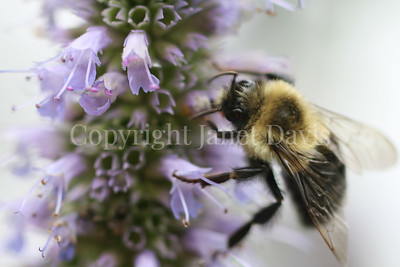 Common Eastern Bumble Bee on Anise Hyssop