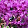Yellow-Faced Bumble Bee on Rhododendron saluenense 2
