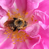 Common Eastern Bumble Bee on 'Therese Bugnet' Rose 1