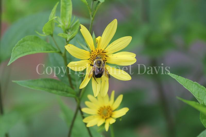 Brown-Belted Bumble Bee on Helianthus 'Lemon Queen' 2