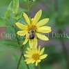 Brown-Belted Bumble Bee on Helianthus 'Lemon Queen' 2