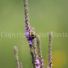 Common Eastern Bumble Bee on Hoary Vervain 1