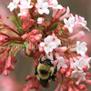 Common Eastern Bumble Bee on Viburnum x bodnantense 'Dawn'