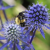 Common Eastern Bumble Bee on Sea Holly