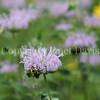 Common Eastern Bumble Bee on Wild Bergamot 7