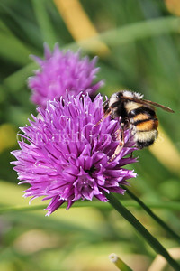 Red-Belted Bumble Bee on Chives 1