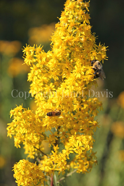 Brown-Belted Bumble Bee on Showy Goldenrod