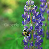 Common Eastern Bumble Bee on Wild Lupine 5