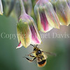 Red-Belted Bumble Bee on Sicilian Honey Lily 2