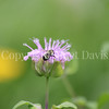 Common Eastern Bumble Bee on Wild Bergamot 4