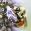 Orange-Belted Bumble Bee on Anise Hyssop 4
