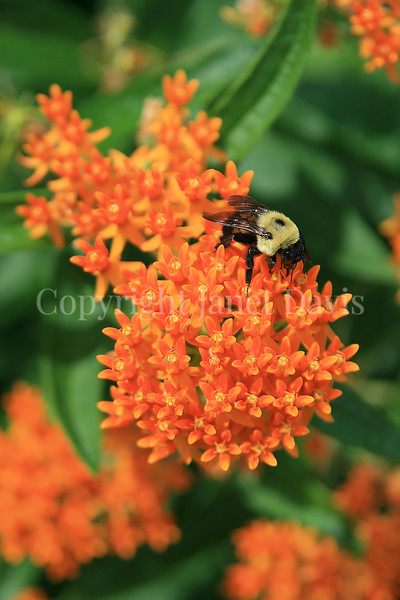 Brown-Belted Bumble Bee on Butterfly Milkweed 1