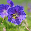 Golden Northern Bumble Bee on Himalayan Cranesbill
