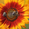 Common Eastern Bumble Bees on Sunflower 4