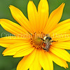 Orange-Belted Bumble Bee on False Oxeye or Heliopsis