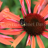 Yellow-Faced Bumble Bee on 'Evan Saul' Echinacea 1