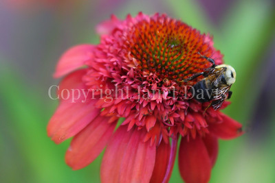 Brown-Belted Bumble Bee on Echinacea 'Hot Papaya'