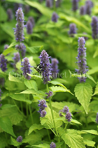 Common Eastern Bumble Bee on Anise Hyssop 1