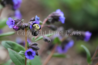 Two Spotted Bumble Bee on Lungwort 2