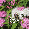 Brown-Belted Bumble Bee on 'Shirobana' Japanese Spirea 1