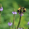 Yellow-Banded Bumble Bee on Swamp Vervain 2