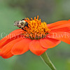 Common Eastern Bumble Bee on Mexican Sunflower