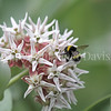 Cryptic Bumble Bee on Showy Milkweed 2
