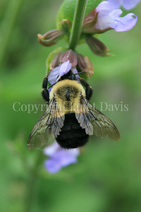 Common Eastern Bumble Bee on Common Sage