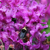 Yellow-Faced Bumble Bee on Rhododendron saluenense 1