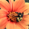 Brown-Belted Bumble Bee on 'Bishop of Oxford' Dahlia 2