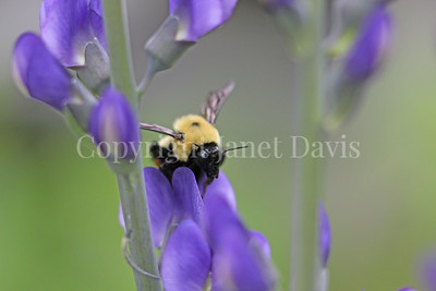 Brown-Belted Bumble Bee on Blue False Indigo 5