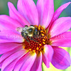 Common Eastern Bumble Bee on a Pink Dahlia