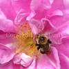 Common Eastern Bumble Bee on 'Therese Bugnet' Rose 2