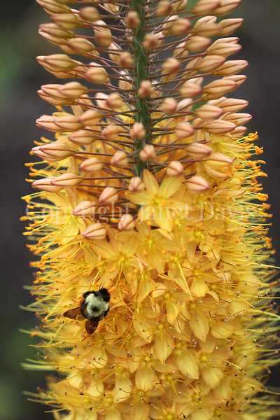 Common Eastern Bumble Bee on Foxtail Lily 1